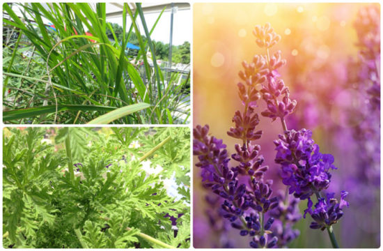Lemon grass, lavender and scented geraniums