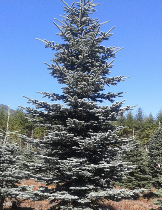 'Burton Blue' Noble Fir