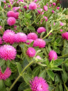 Pink Zazzle™ Gomphrena is available later in the season.