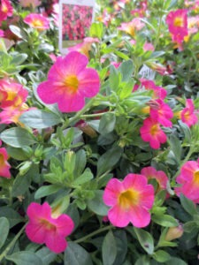 Calibrachoa thrives in the cool season.