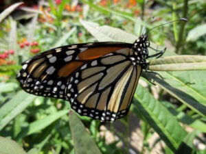 A Monarch butterfly on Tropical milkweed (Asclepias curassavica).