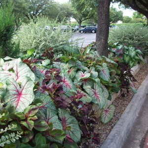 Caladiums foliage blends beautifully with other plants in the landscape.