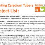 Caladium Planting