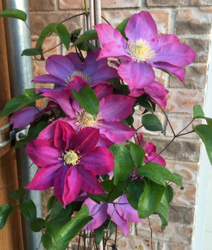 consider clematis for a focal point feature plant. Black Bedroom Furniture Sets. Home Design Ideas