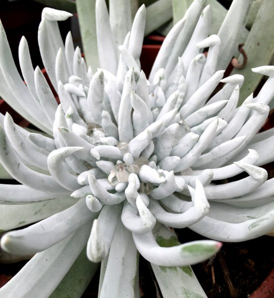 Giant chalk sticks, Dudleya brittonii, is a sleek silver specimen plant with a striking sea-urchin form.