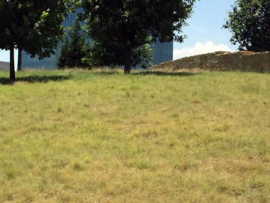 Texas native turf grass