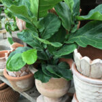 Want Fresher Air In Your House? Consider a Fiddle Leaf Fig
