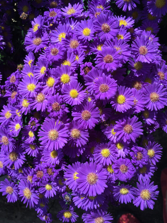 Aster 'Believer Purple'