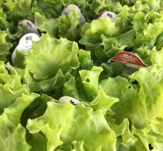 Lettuce_1379