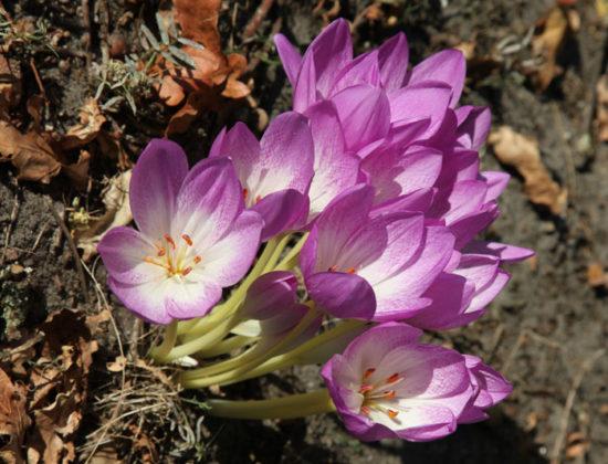 Colchicum 'Lilac Wonder'