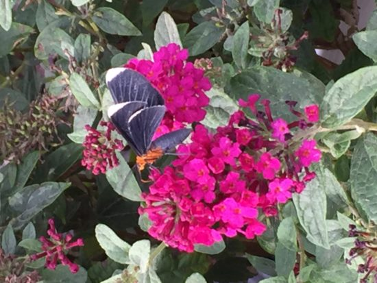 Miss Molly' Butterfly Bush Buddleia