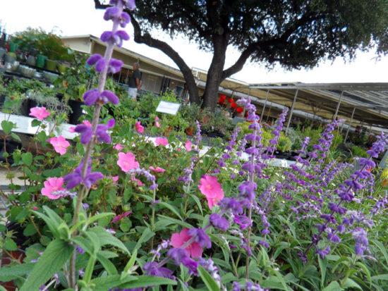 Texas Tough perennials