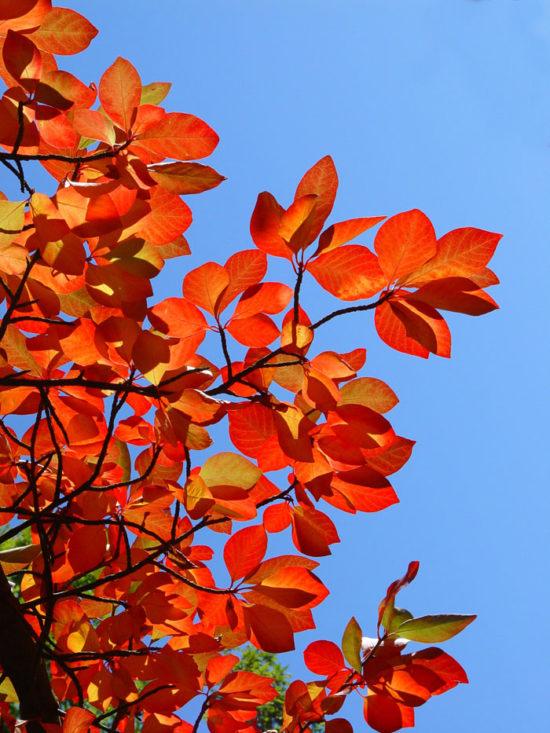 Tupelo or Black Gum Tree (Nyssa sylvatica)