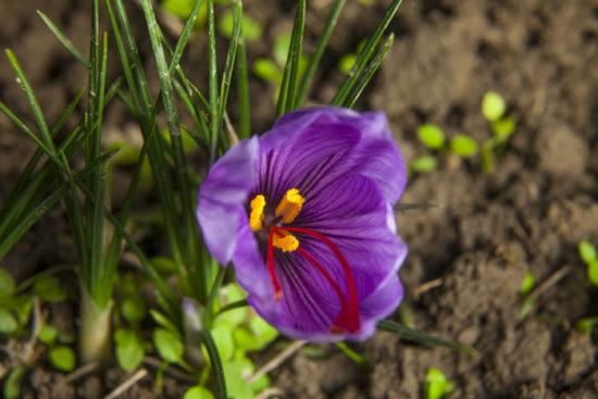 Saffron crocus (Crocus sativa)
