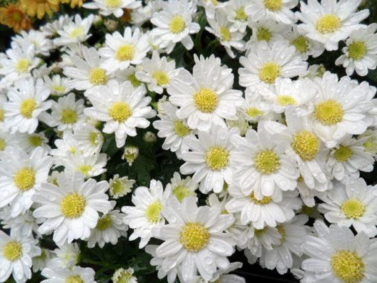 Floral mums
