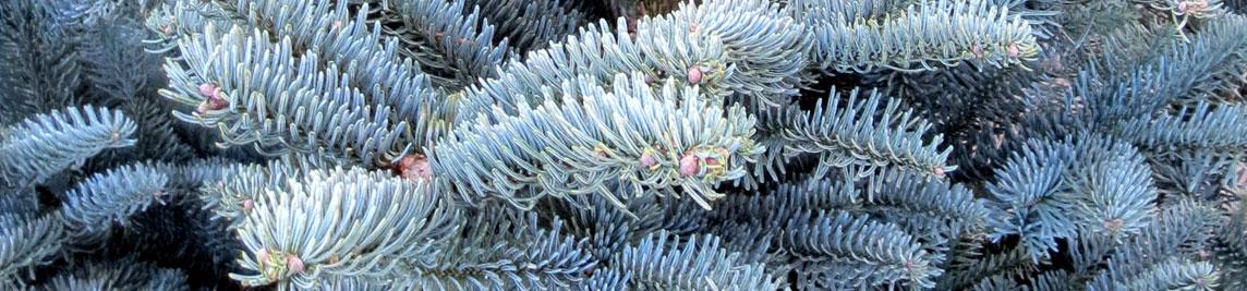 burton blue christmas trees