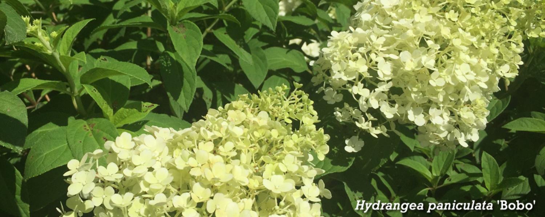 Hydrangea paniculata Bobo banner copy