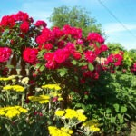 Roses and yarrow