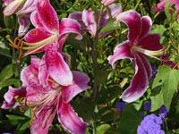 Phlox-and-Lilies At North Haven Gardens