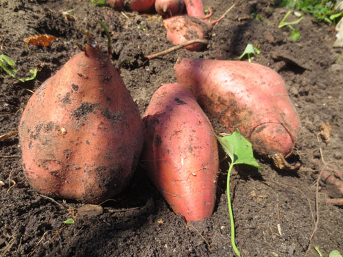 Sweet Potatoes Deserve Space In Your Garden