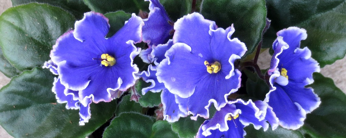 These Aren't Your Grandmother's African Violets