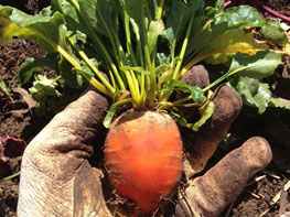 Grow carrots in early spring.