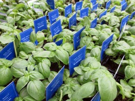 plant basil in the warm months