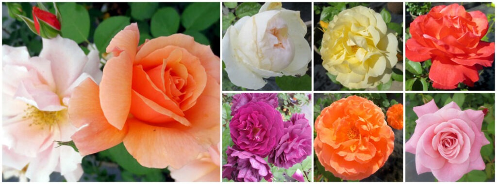 Roses at North Haven Gardens