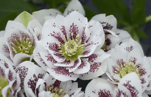 Spring Jewels For The Shady Texas Garden