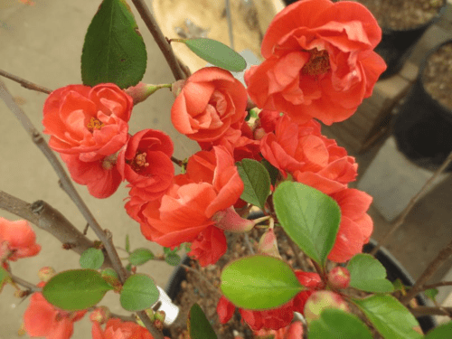 Winter-Blooming Shrubs I: Flowering Quince
