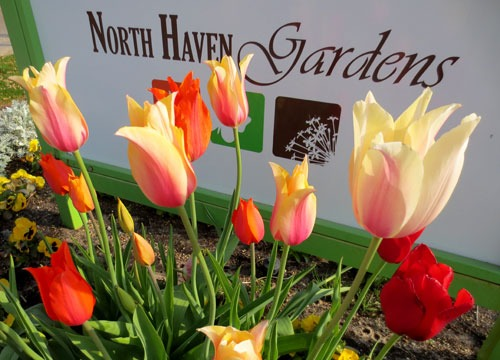 Tulips at North Haven Gardens