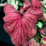 Desert Sunset Thai hybrid Caladium