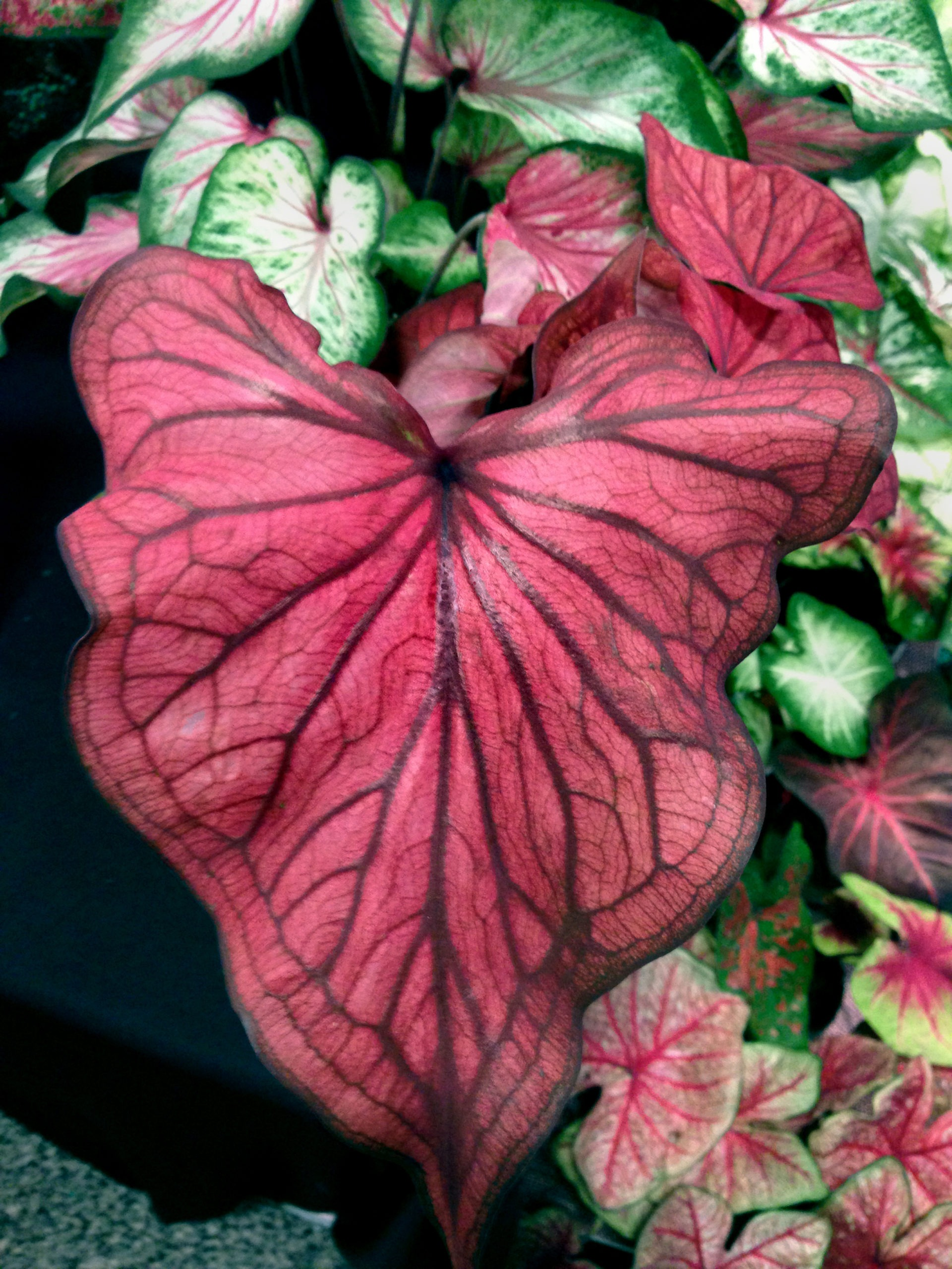 Caladiums Enliven Shady Spots With Vibrant Tropical Foliage