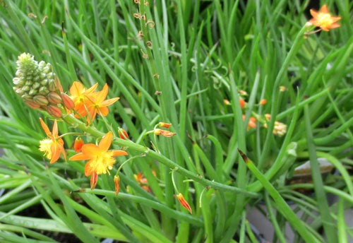 Drought tolerant perennials like Bulbine at North Haven Gardens