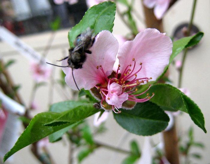 Mason bees at North Haven Gardens