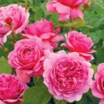 David Austin® Roses at North Haven Gardens