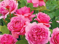 David Austin® Roses At North Haven Gardens