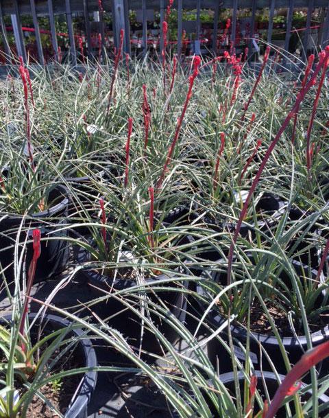 Brakelights® Red Yucca Hesperaloe