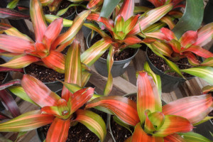 Neo-Orange-Crush bromeliad