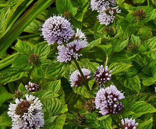 Water mint is ideally suited to pond edges.