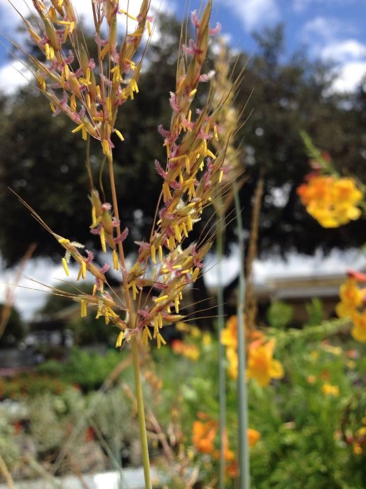 Indian grass (Sorghastrum)