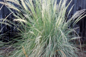 Lindheimer Muhly grass