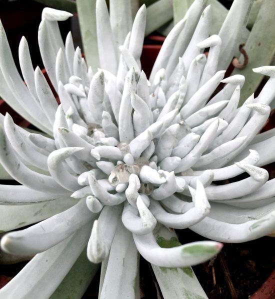 Giant chalk sticks, Dudleya brittonii, is a sleek silver specimen plant with a striking sea-urchin form.