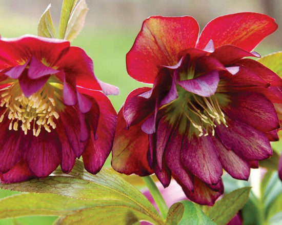 Helleborus Winter Jewels™ 'Berry Swirl'