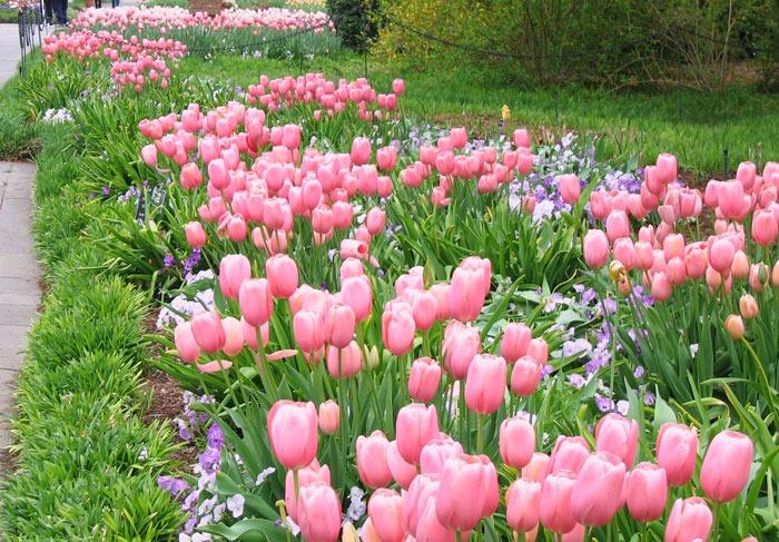 Tulips Menton