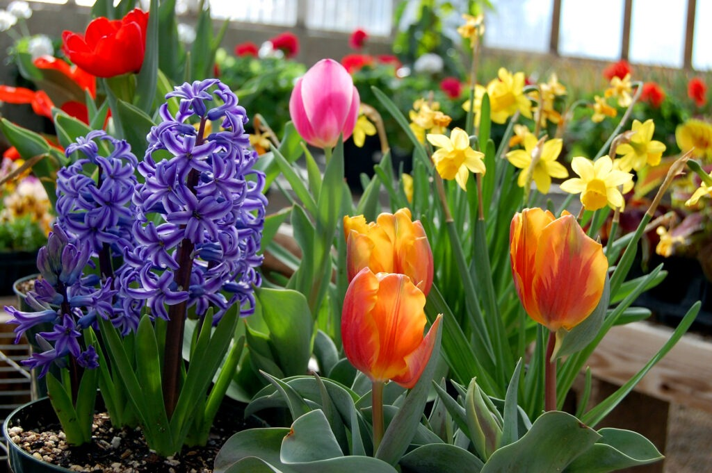 Spring Blooming Bulbs | North Haven Gardens