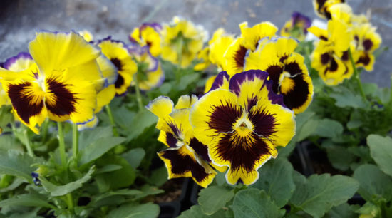 Pansy of the Week!