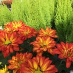 Floral Point Pelee Mums