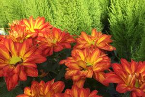 Floral Point Pelee Mums