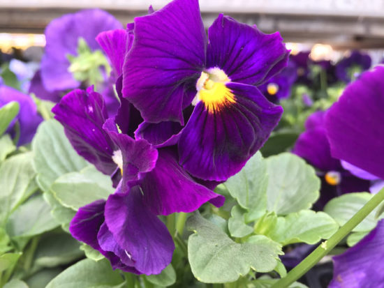 Pansy of the Week